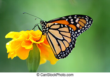 Monarch Butterfly - Beautiful Monarch butterfly perched on a...