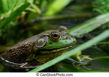 Green Frog - Deep green frog in a pond