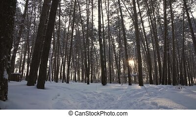 Rays of setting sun streaming through trunks of pine trees in winter forest stock footage video