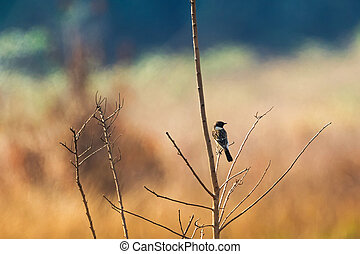Back of Siberian Stonechat, Asian stonechat, Old World...