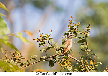 Brown Shrike bird perching on top of tree in Thailand, Asia...