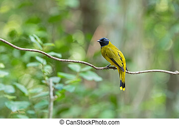 Black-headed bulbul bird in yellow with black head perching...