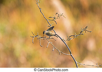 Yellow-browed Warbler, leaf warber bird drying its armpit on...