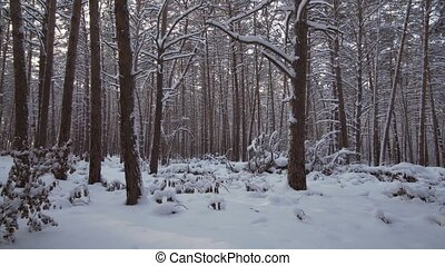 Winter pine forest with snow drifts