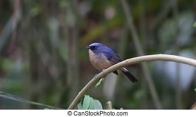 Slaty-blue Flycatcher Ficedula tricolor Male Cute Birds of...