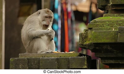 Monkey eating banana. Monkey forest in Ubud Bali Indonesia.