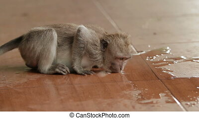 Monkey drinking water from puddle . Indonesia. Bali.
