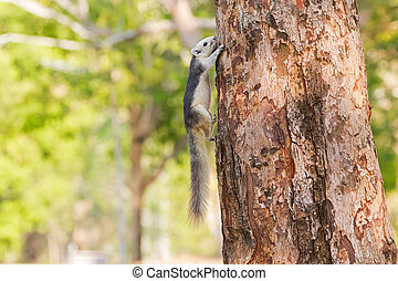 Cute Gray squirrel with white head face tummy and bushy tail climbing on tree in Khao Yai