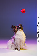 Studio portrait of a small yawning puppy Papillon dog on...