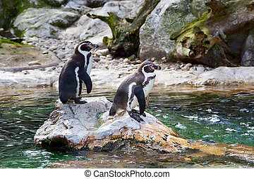 Two Humboldt or Peruvian Penguins - Two Humboldt Penguin or...