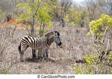 Young adult zebra in Kruger National Park