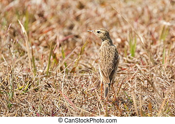 Oriental Paddyfield Pipit small passerine bird walking alone...