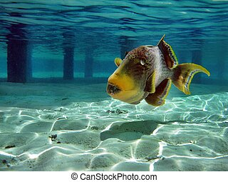 Giant Triggerfish (Maldives)