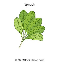 Hand drawn Spinach leaves. Green healthy vegetarian food....