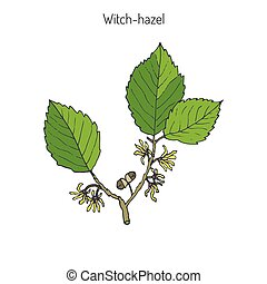 Branch of a witch hazel, medicinal plant Hamamelis. Vector...