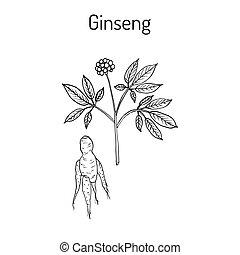 Ginseng - medicinal plant, hand drawn botanical vector...