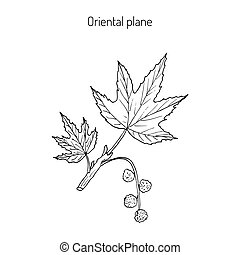 Occidental plane branch - Platanus orientalis, or oriental...
