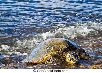 Hawaiian Green Turtle coming ashore to eat alge