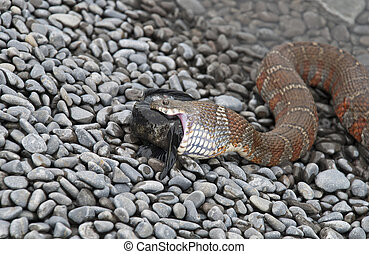 Close up of a water snake ingesting a fish - Close up of a...