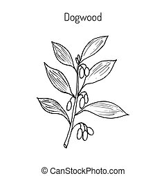 Branch of dogwood plant with berries. Hand drawn botanical...