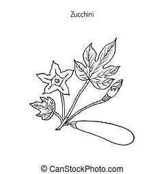 Zucchini plant, vector illustration - Flowering and ripe...