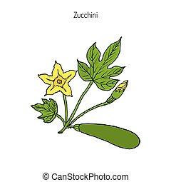 Zucchini plant, vector illustration