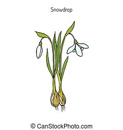 Snowdrop, spring flower - Snowdrop Galanthus nivalis , early...