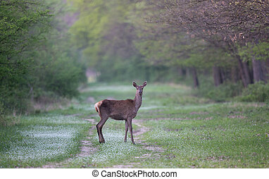 Hind standing in forest - Hind (red deer female) standing in...