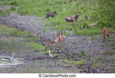 Hinds, wild boar and white herons beside pond - Group of...