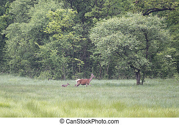 Hind with calf walking on meadow - Hind (red deer female)...