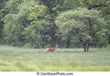 Hind with calf walking on meadow - Hind (red deer female)...
