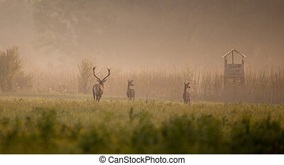 Red deer following hinds in forest on foggy morning in...