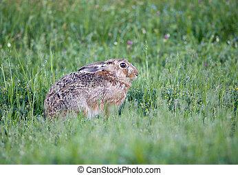 Wild rabbit in grass - Afraid gray rabbit hiding in grass in...