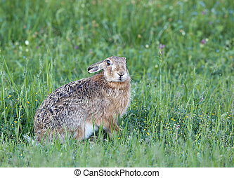 Wild rabbit in grass - Afraid wild rabbit hiding in grass in...