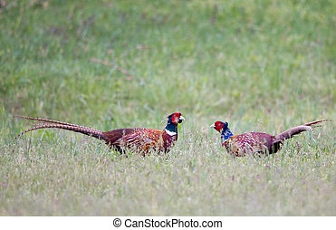 Pheasants fighting in nature - Pheasants fighting for...