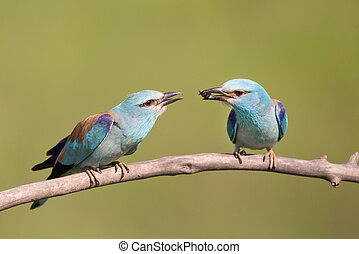 Male bird Breasted rollers feeding female - Lilac-Breasted...