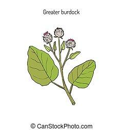 Burdock medicinal plant - Burdock, Arctium lappa, commonly...