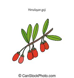 Goji berry branch - Goji berry Lycium barbarum or Chinese...