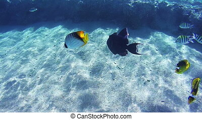 Beautiful Colorful Tropical Fish on Vibrant Coral Reefs...