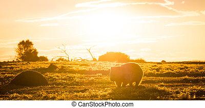 Australian Wombat at sunset on Maria Island, Tasmania,...