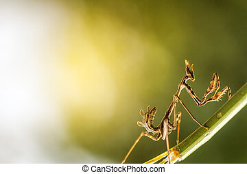 mantis in beautiful magical background - close up mantis in...