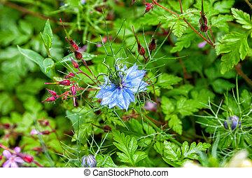 Black seed, Nigella Sativa plant, blue flower. Selective...