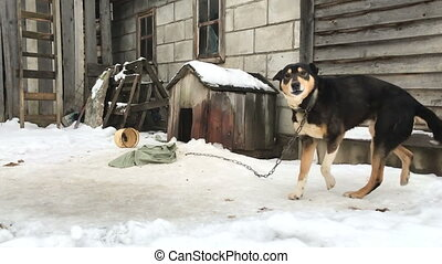 Dog on a chain at winter.