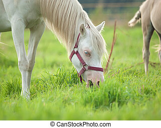 grazing cremello  welsh  pony  mare at pasture