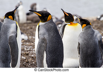 King Penguin - Aptenodytes patagonicus - Colony of king...