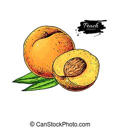 Peach vector drawing. Isolated hand drawn peach, sliced...