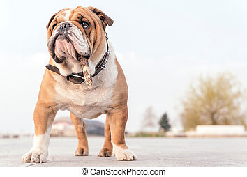 Portrait of English bulldog with stick in his...