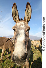 donkey with long ears in the middle of the sheep herd