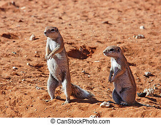 Ground Squirrel Xerus inaurus - Ground Squirrels in the...