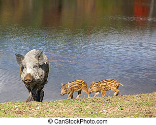 Wild Pig and Piglets - A wild pig and piglets walking by the...